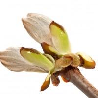 Bach bloesem Chestnut bud