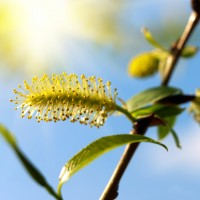 Bach bloesem Willow
